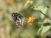 butterfly, Basunti