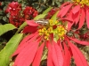 Poinsettia at Basunti garden