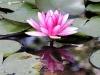 Water Lilies, Basunti pond