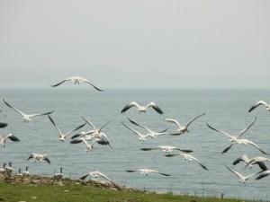 Bar-headed Geese on Ranseer Island