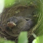 Himalayan Bulbul chick, fat & content, moments before leaving the nest, Basunti