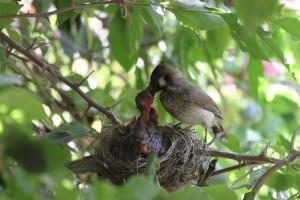 Himalayan Bulbul feeding chicks