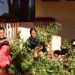 Chilli crops, Basunti