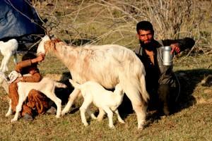 Gujars - milking their goats
