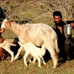 Gujars milking their goats