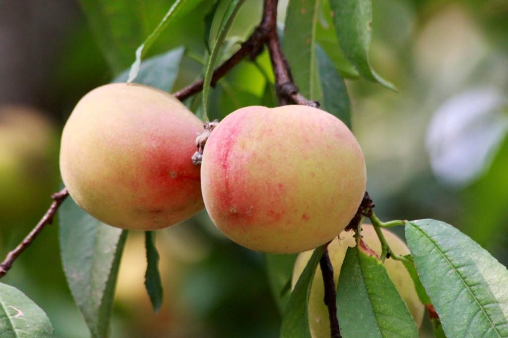 Delicious, sun ripened, organic Basunti peaches