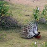 peacock at Basunti