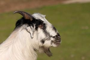 Goat, Himachal Pradesh, Basunti